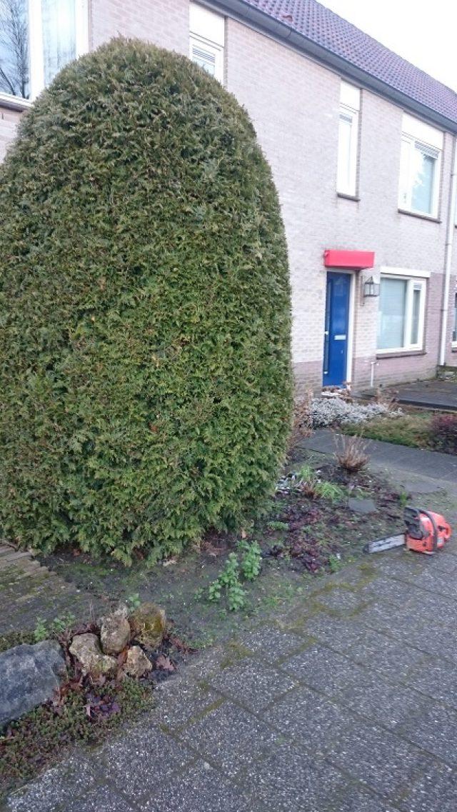 Coniferen rooien of verwijderen