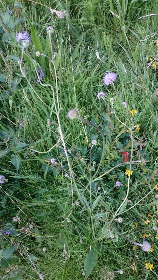 Beemdkroon - Knautia arvensis - zeer zeldzaam