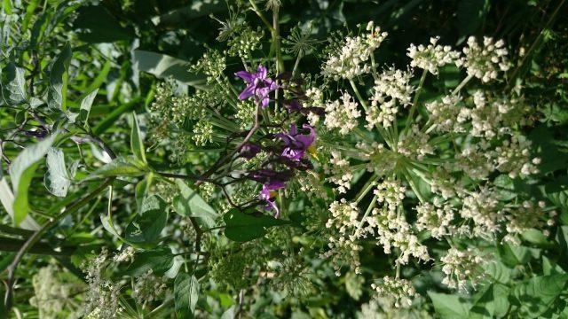Bitterzoet - Solanum dulcanara