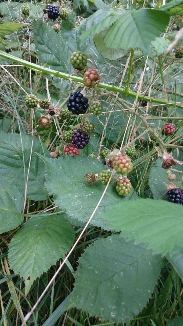 Braam - Rubus