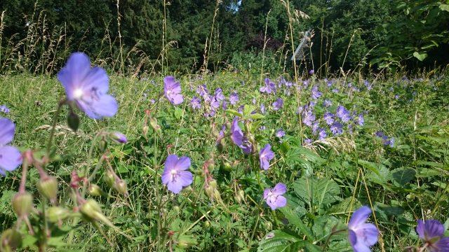 Beemdooievaarsbek - Geranium pratense - toch zeldzaam