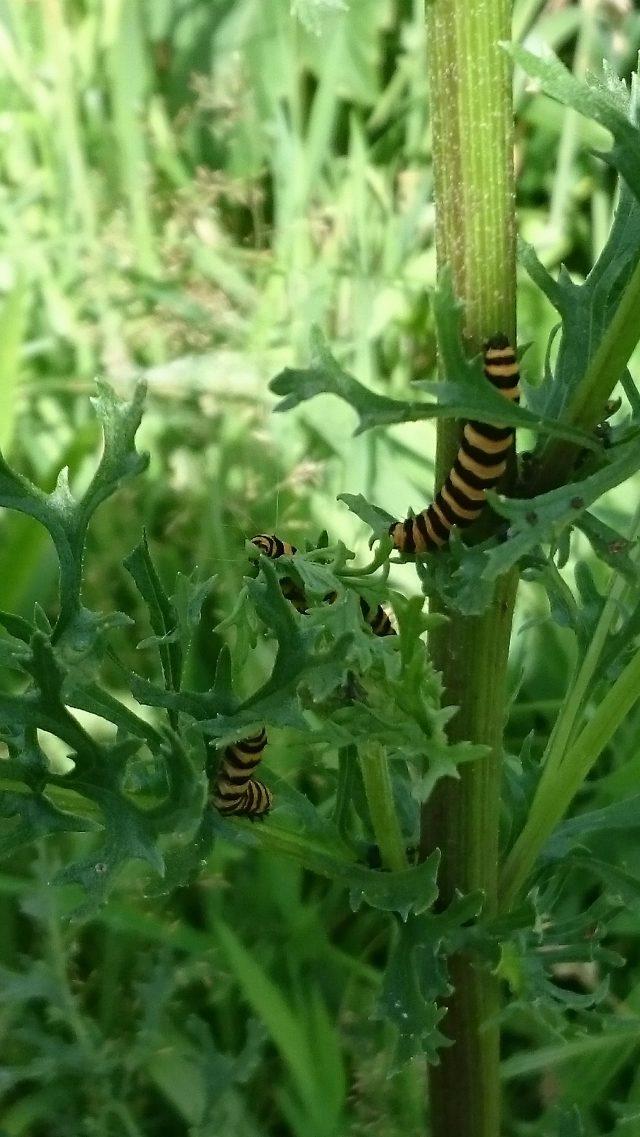 Zebrarups (St.-Jacobsvlinder) op Jacobskruiskruid - beiden giftig voor mens en dier