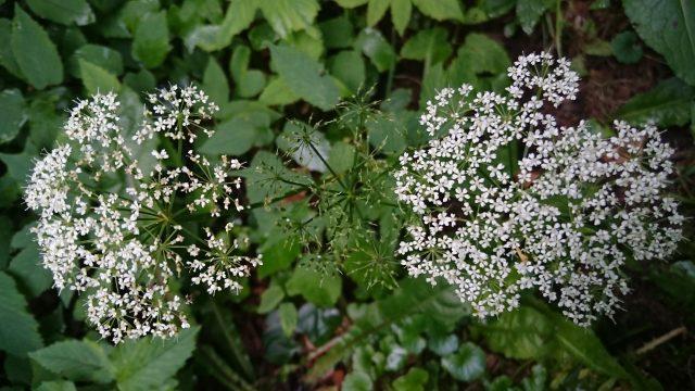 Zevenblad - Aegopodium podagraria (als spinazie best lekker)