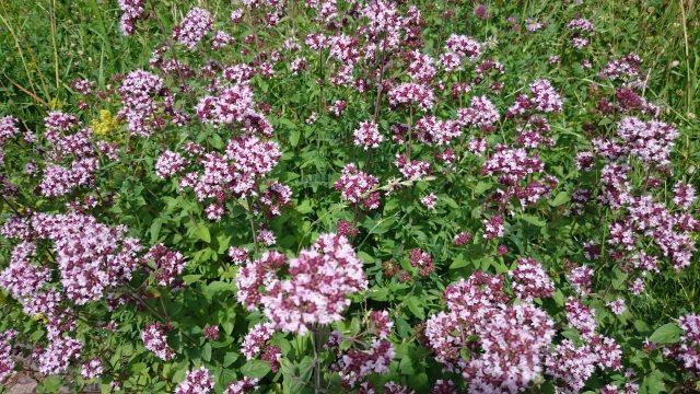 Wilde marjolein - Origanum vulgare - vrij zeldzaam
