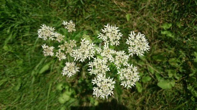 Gewone bereklauw - Heracleum sphondylium