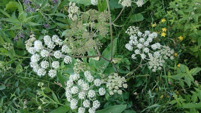 Gewone engelwortel - Angelica sylvestris