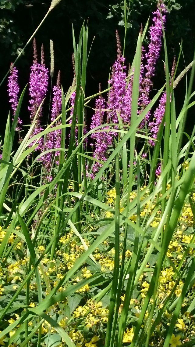 Gewone wederik met op de achtergrond Gewone kattestaart (Lythrum salicaria)