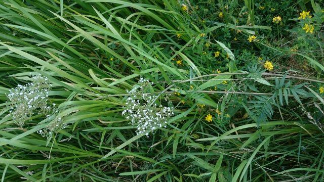Grote watereppe - Sium latifolium