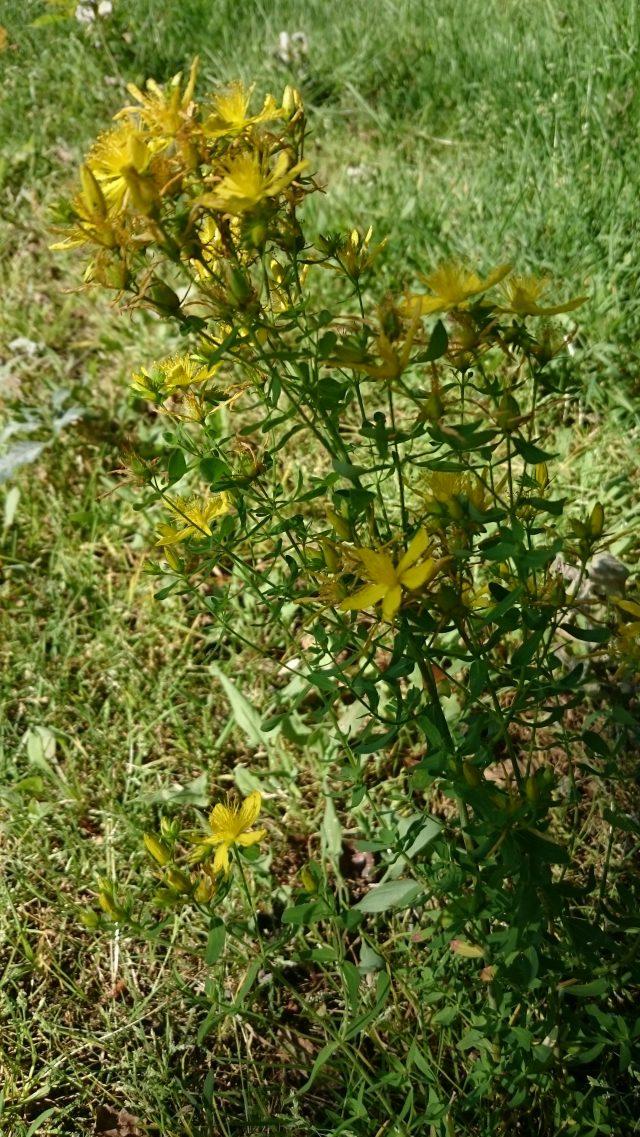 St.-Janskruid (Hypericum perforatum) Algemeen - Geneeskrachtig