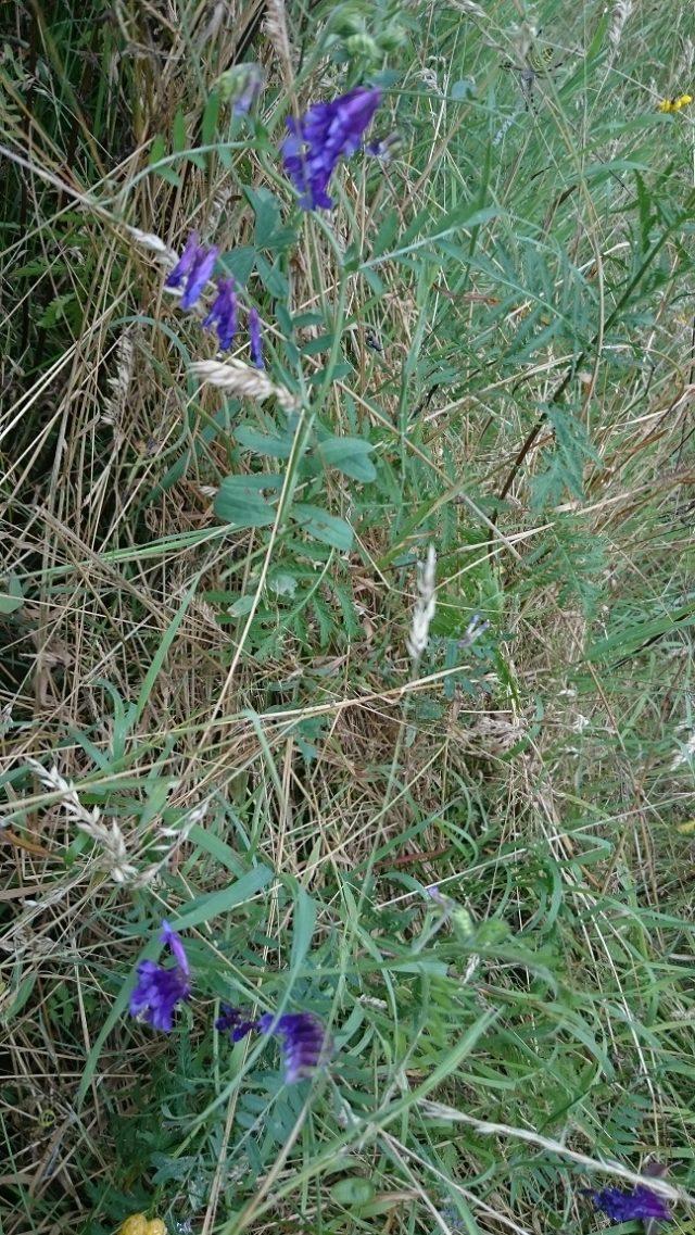 Vogelwikke - Vicia cracca